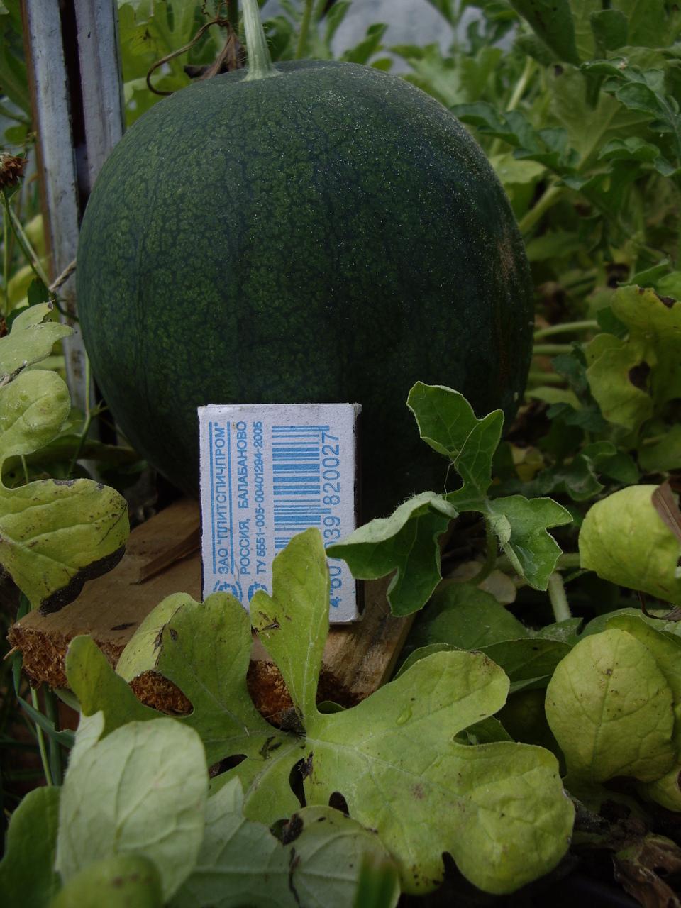 Выращивание арбуза и дыни в подмосковье 63