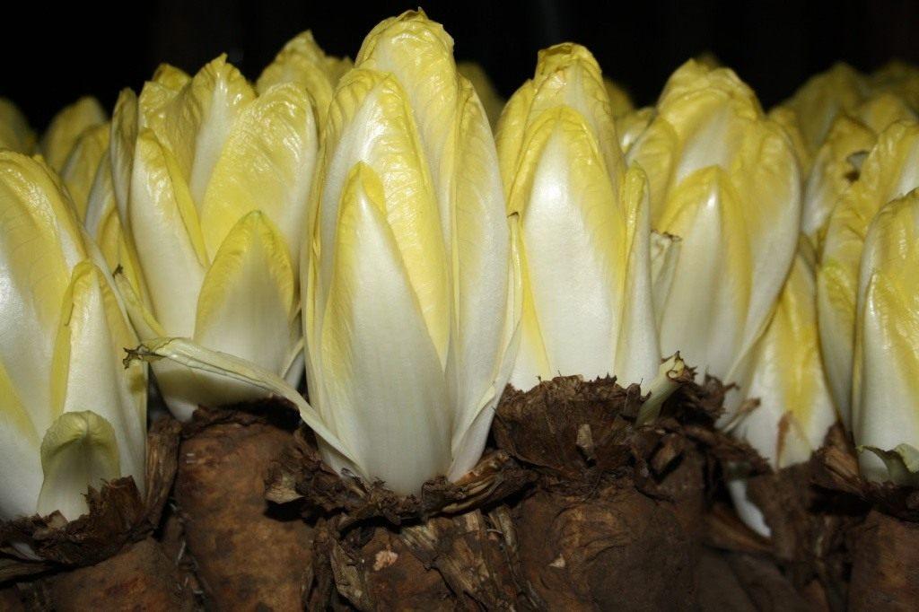 Витлуф: выращиваем салатный цикорий
