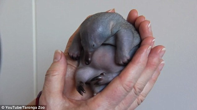 An orphaned 30-day-old echidna puggle was rescued from a walking track at Anna Bay, Australia, after presumably falling out of its mother's pouch