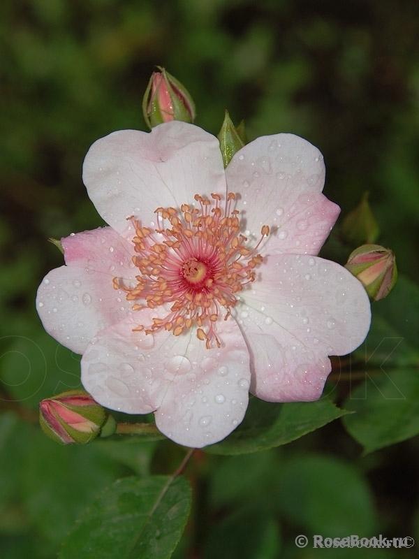 http://www.rosebook.ru/components/articles/images/bb/original/526-180-25.jpg