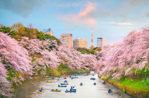 Япония назвала точные даты цветения сакуры