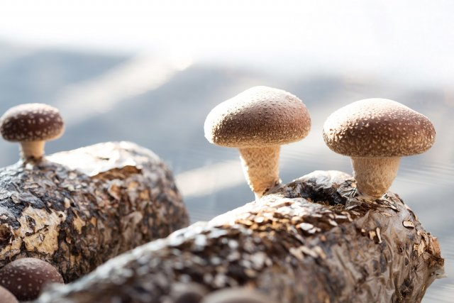 """Шиитаке – выращивание """"японских"""" грибов в домашних условиях"""