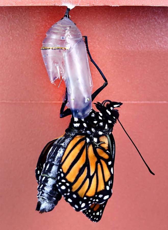 1930 Метаморфозы и рождение бабочки монарха