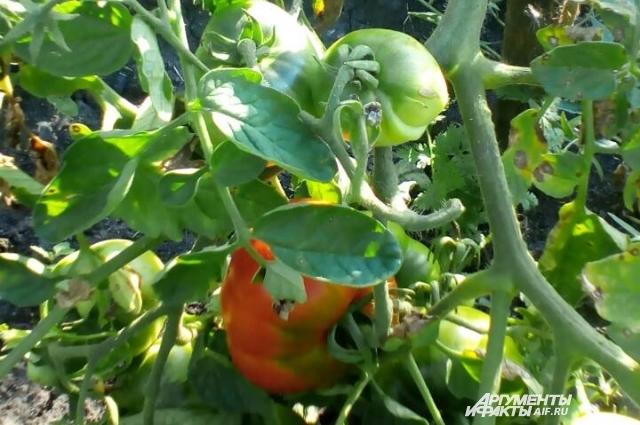 Первый помидор в этом сезоне в саду Светланы Дейнеко.