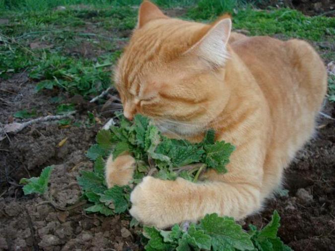 Колдовские чары мяты для кошки
