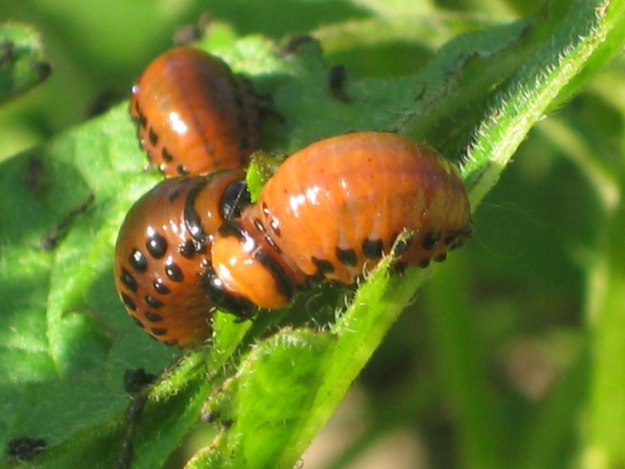 Можно ли устроить профилактику против колорадского жука?