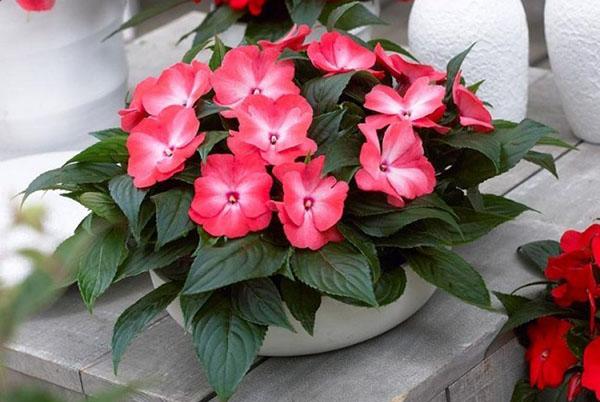 Комнатные цветы наших бабушек