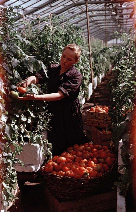 Работница собирает томаты, выращенные в теплицах колхоза в Московской области.