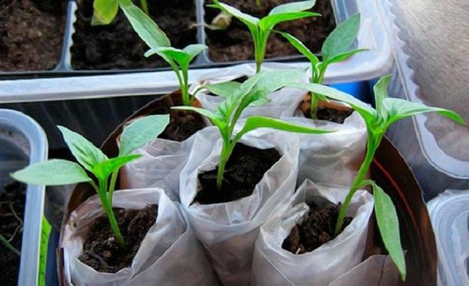 Как посадить перец на рассаду в пеленках: преимущества метода