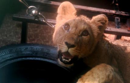 Адвокат рассказал, кто ответит за нападение львицы на ребёнка