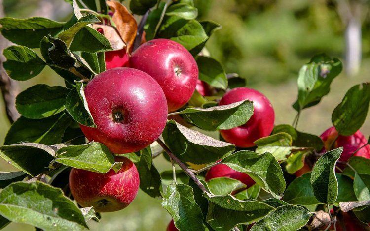 Почему на яблоне и груше скручиваются листья и что делать?