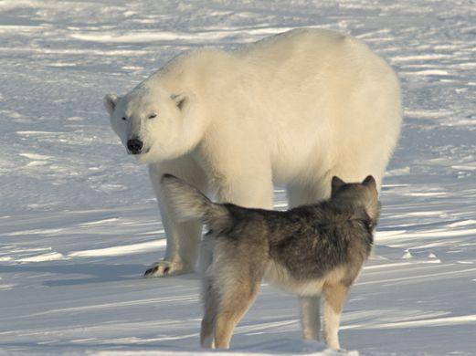 Белый медведь подрался с собакой на Аляске