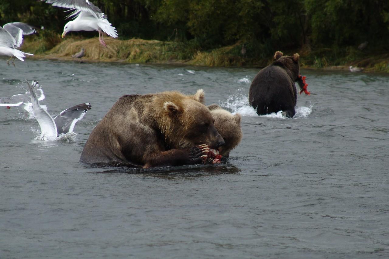 ловля медведя на шпильку
