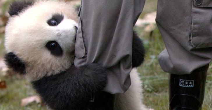 Этот маленький панда покорил…