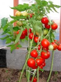 Вновь о пасынковании томатов - самое время...