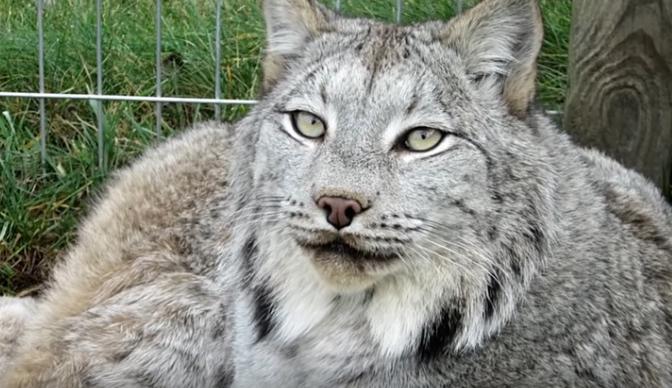 «Почти, как кот»: и с дикой рысью можно подружиться!