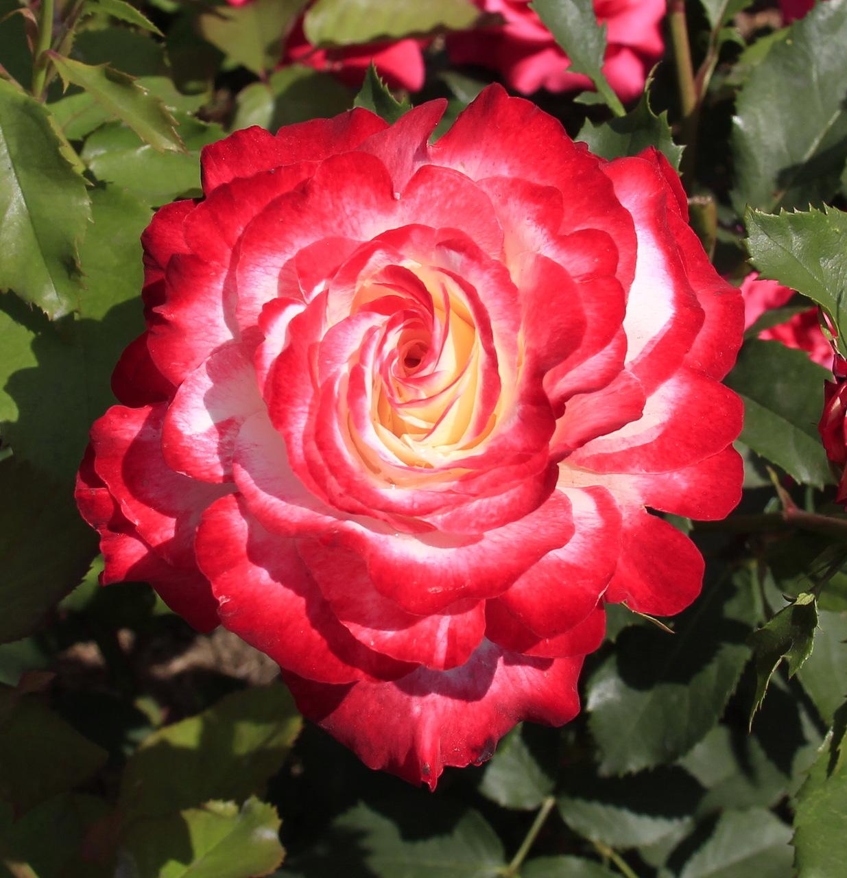 Смотреть онлайн rose delight 8 фотография
