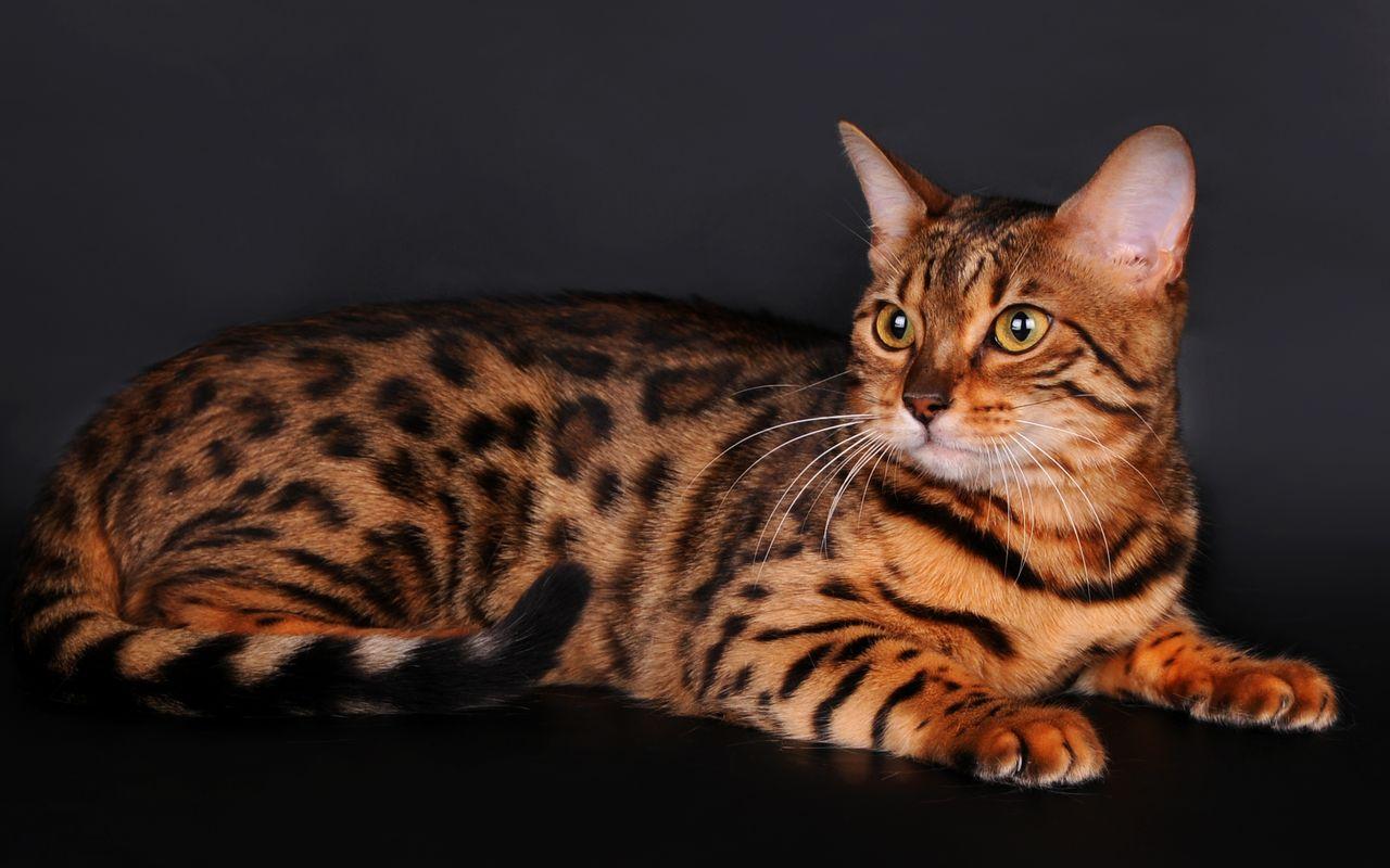 Тигровый кот.
