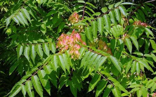 САД, ЦВЕТНИК И ОГОРОД. Айлант (лат. Ailanthus)