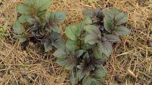 Картофельные кусты на соломе