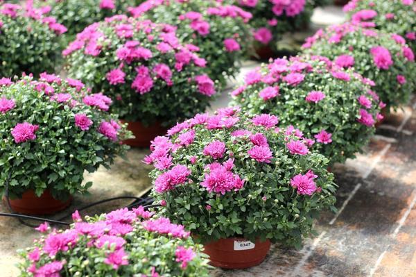 Правильная шаровидная форма куста свойственна этой хризантеме от природы