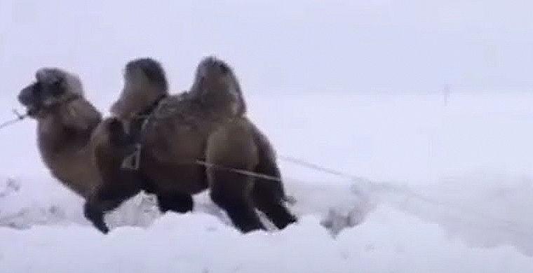 Верблюд пришел на помощь автомобилистам