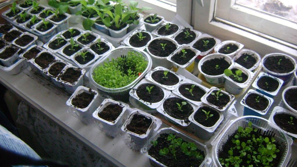 Какие овощи уже пора сеять на рассаду?