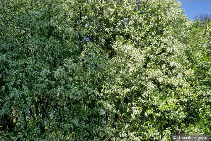 Вальс деревьев