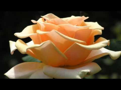 Эти Розы Для Тебя!