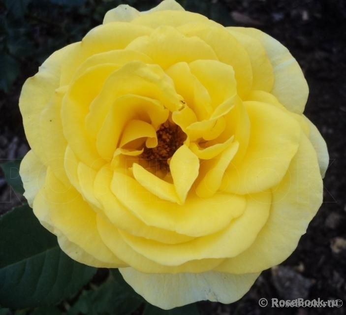 http://www.rosebook.ru/components/articles/images/bb/original/526-180-11.jpg