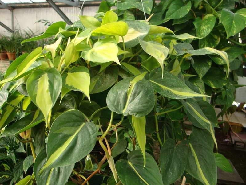 Картинки по запросу вянут листья филодендрона