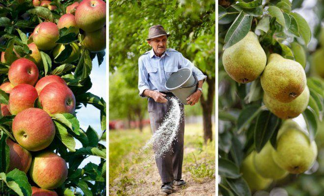 Чем подкормить яблоню и груш…