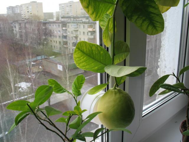 продаются комнатные лимоны - Екатеринбург