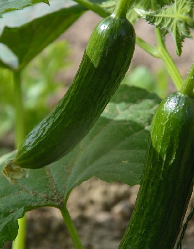 Советы дачникам для большого урожая огурцов: как защитить растения от вредителей