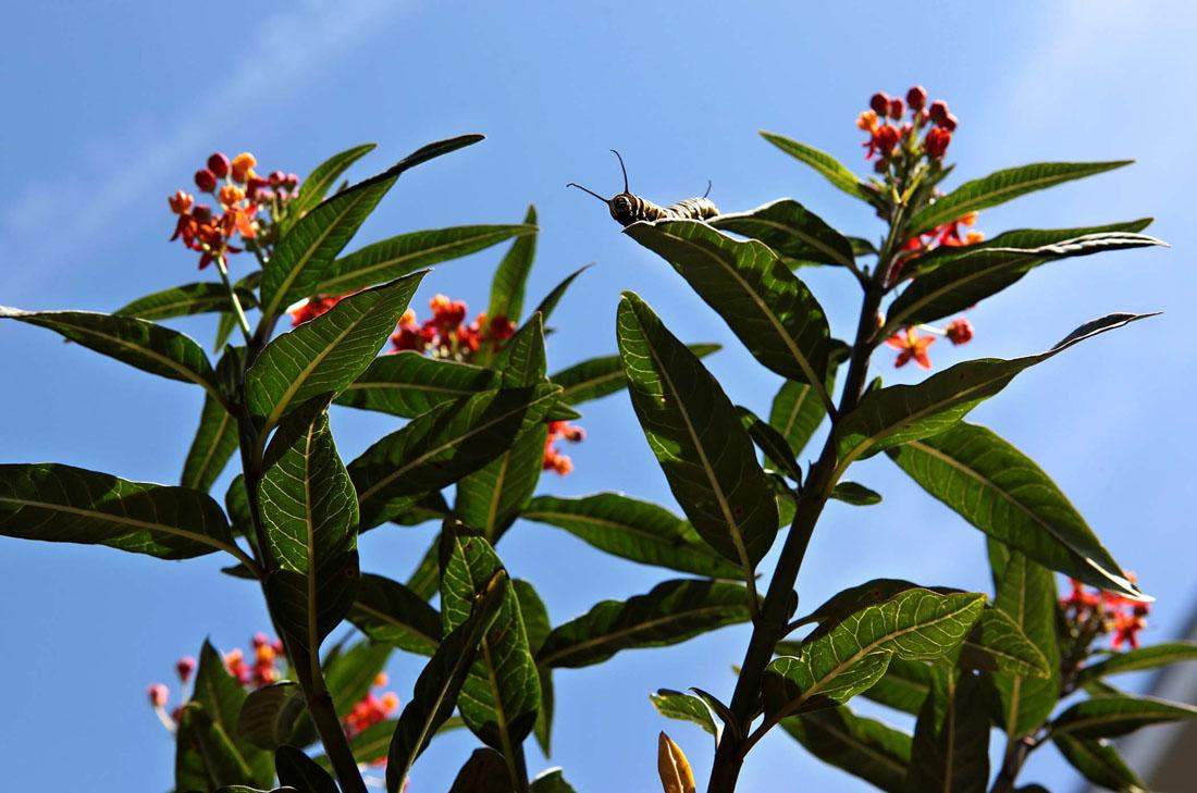 3102 Метаморфозы и рождение бабочки монарха