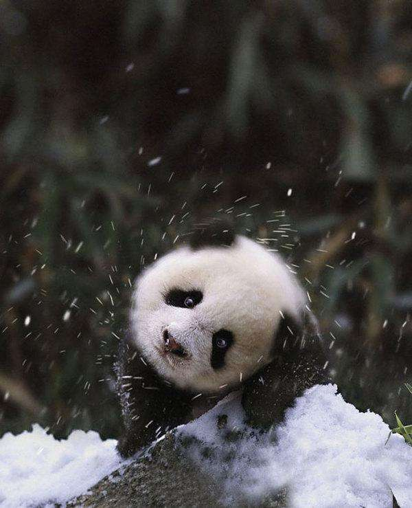 animals-and-first-snow-baby-panda1__700