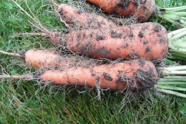 Борода моркови не к лицу