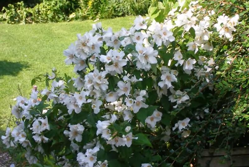 неприхотливые кустарники цветущие