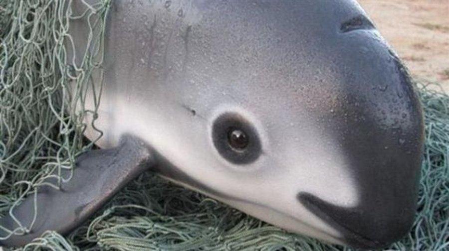 Вакиты — последние 12 особей калифорнийских морских свиней в мире