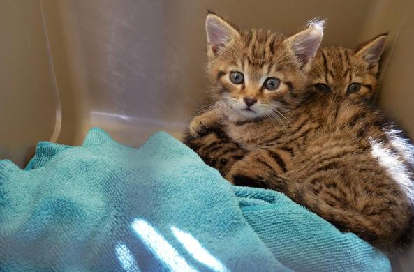 Котята редчайшего животного на планете спасены в Шотландии