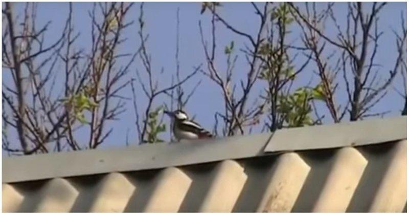 Дятел терроризирует жильцов дома видео, дом, дятел, животные, прикол, птицы, юмор