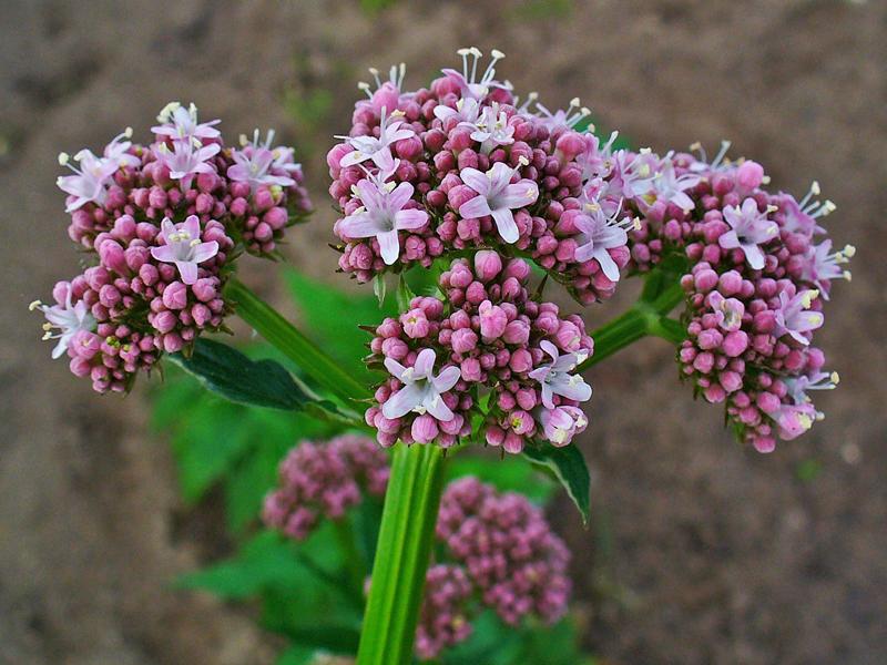 Какие лекарственные растения собираем в сентябре