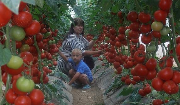 Очень эффективная подкормка для томатов