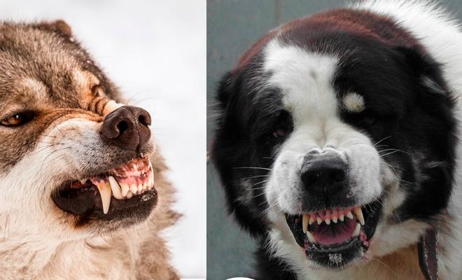 5 опасных собак, способных без труда свалить даже волка