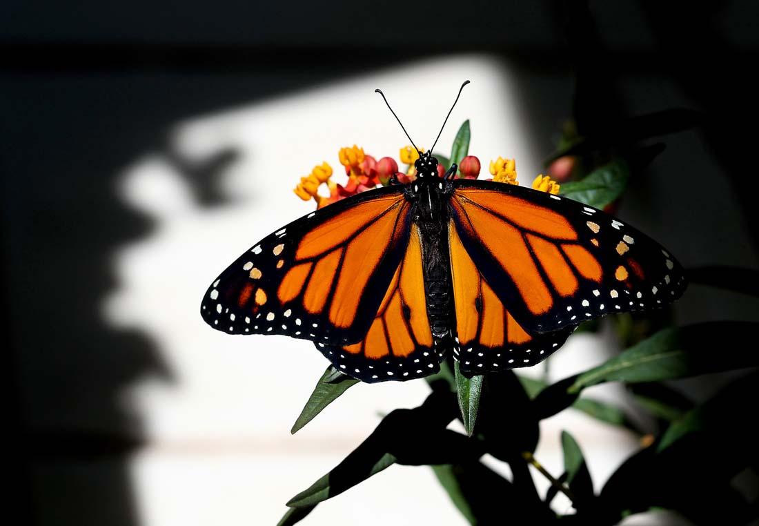 2326 Метаморфозы и рождение бабочки монарха