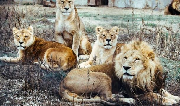В крымском зоопарке лев напал на посетительницу