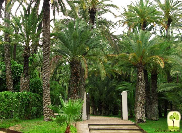Чарующий пальмовый лес Эльче в Испании - 8
