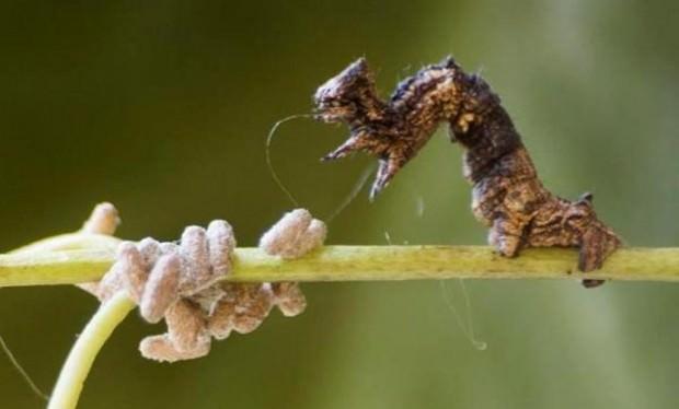 Паразитизм осы рода Glyptapanteles