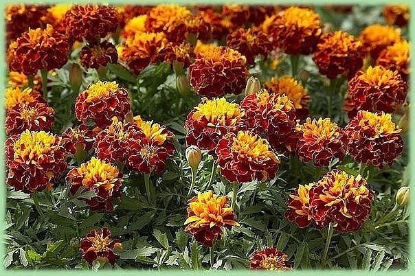А вы знали, что бархатцы – лекарственные растения?