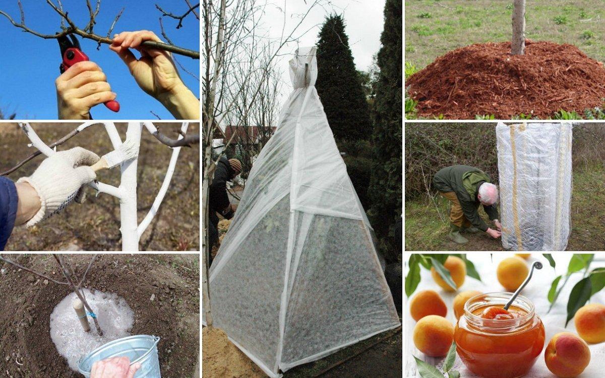 : Как ухаживать за абрикосом осенью